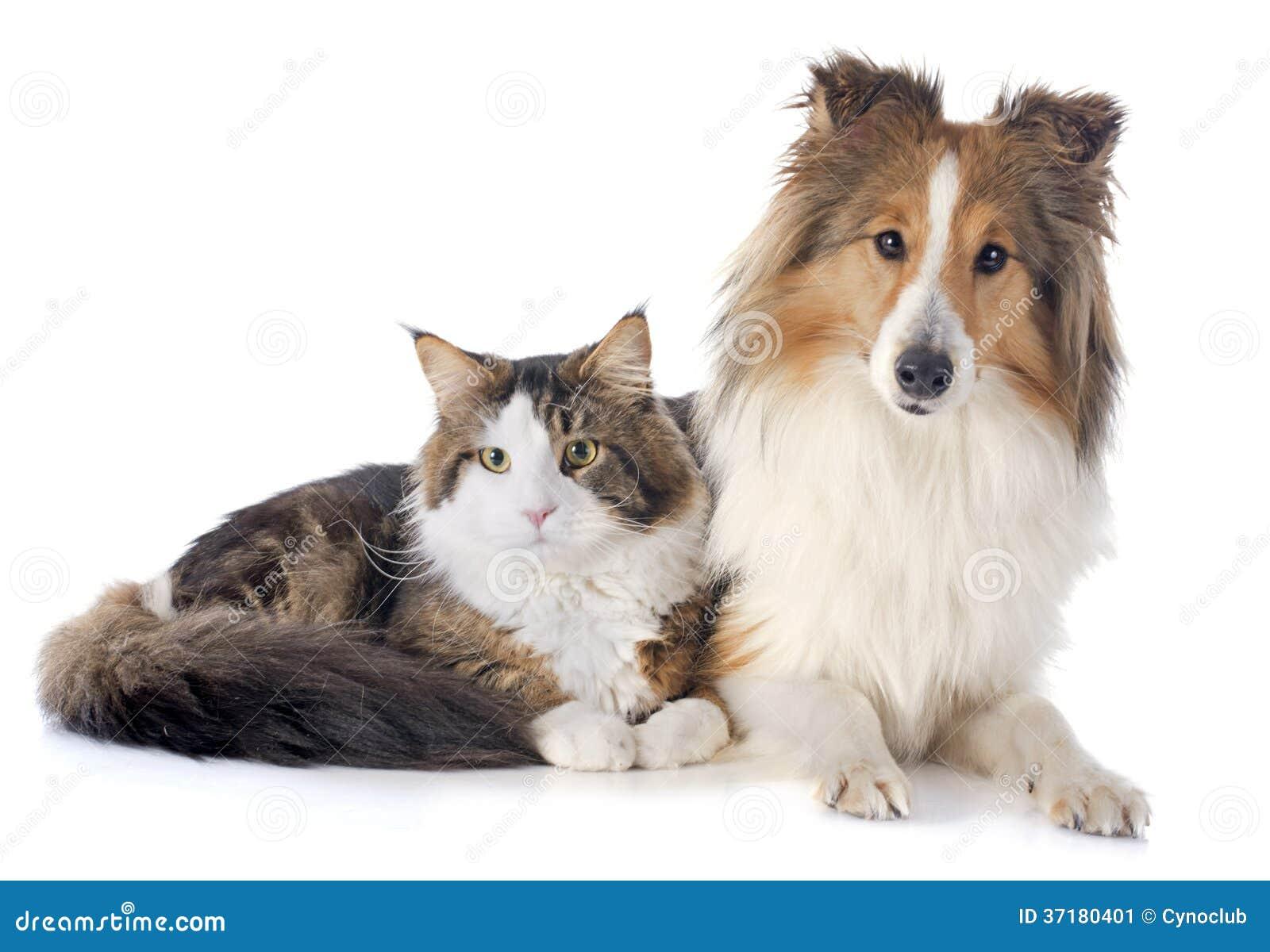 Кот енота ans Мейна собаки Shetland