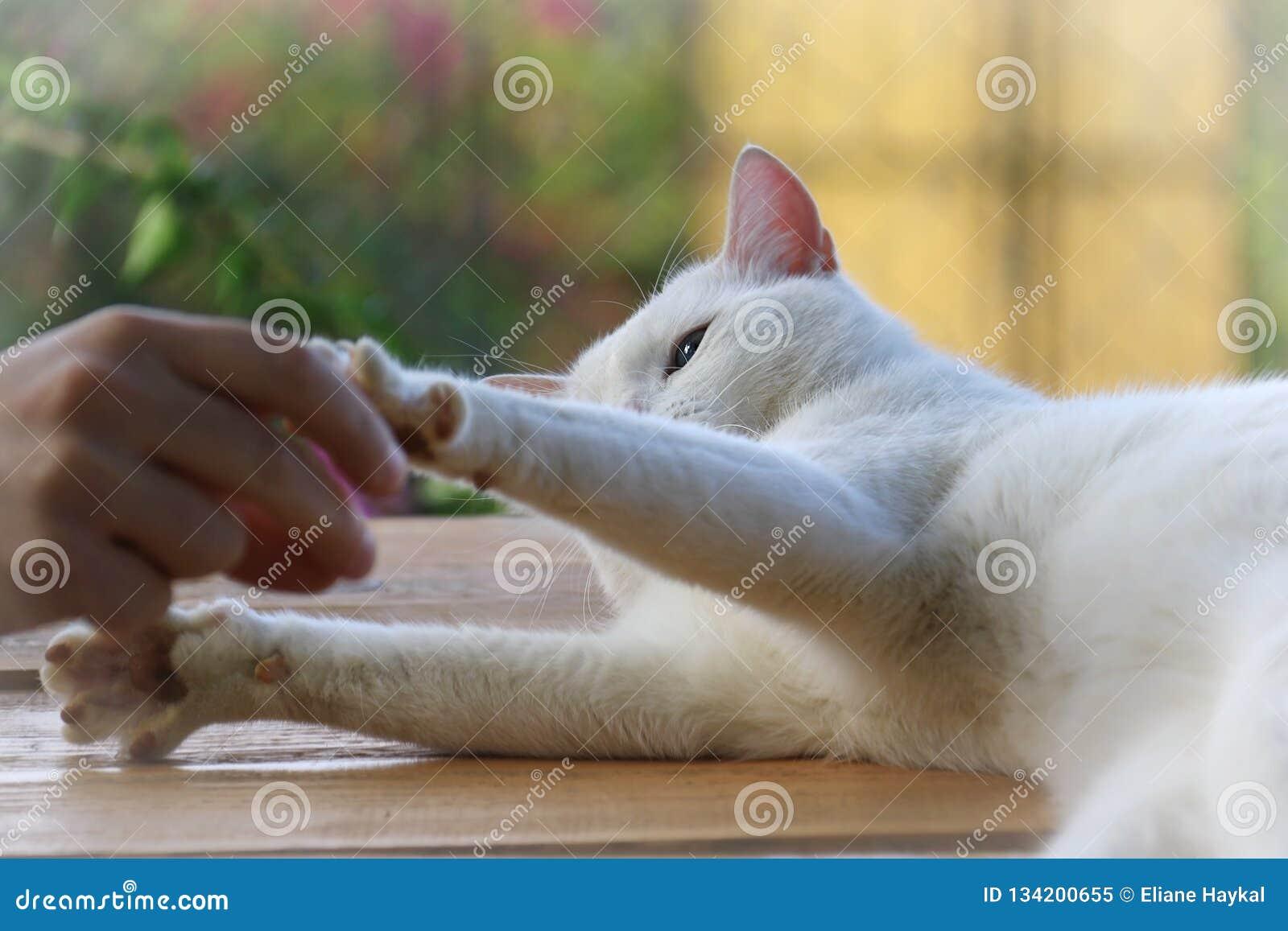 Кот играя с человеком