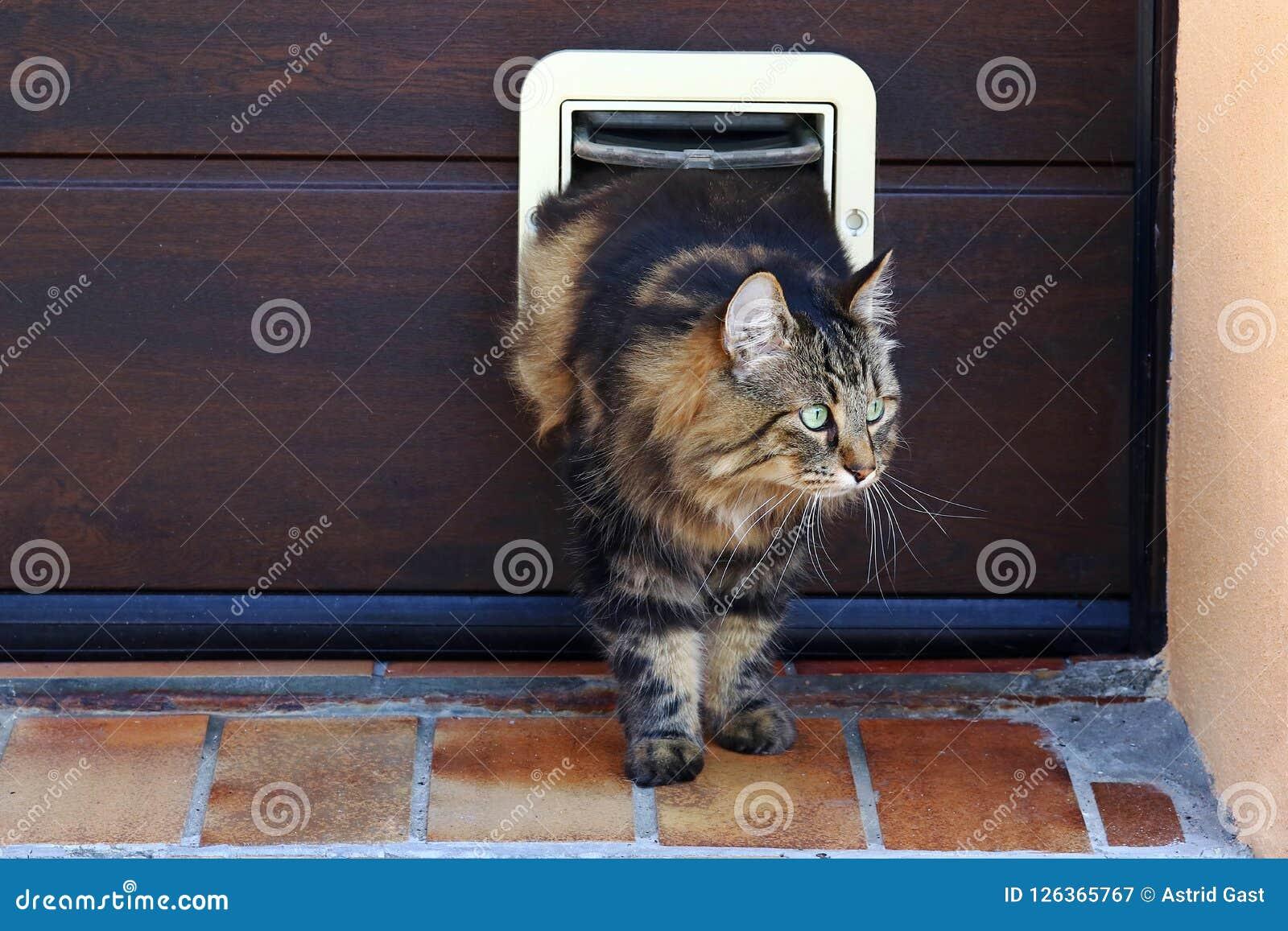 Кот идет через щиток кота Норвежский кот леса перед щитком кота