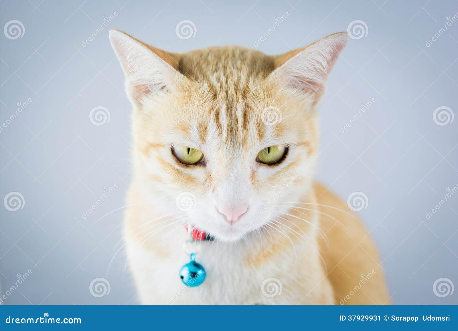 Кот имбиря оранжевый имеет воротник и колокол