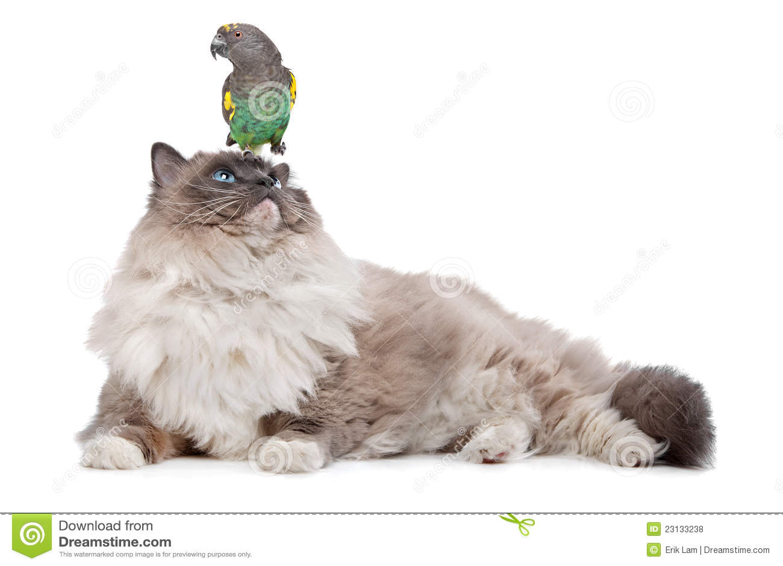 Кот и попыгай