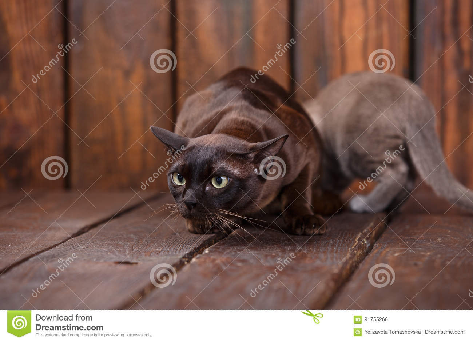 кот котенка и взрослого разводит европейских бирманца отца