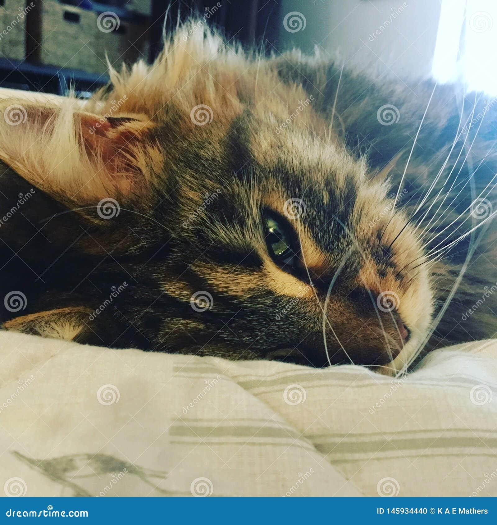 Кот котенка mindfulness Moggy сонный