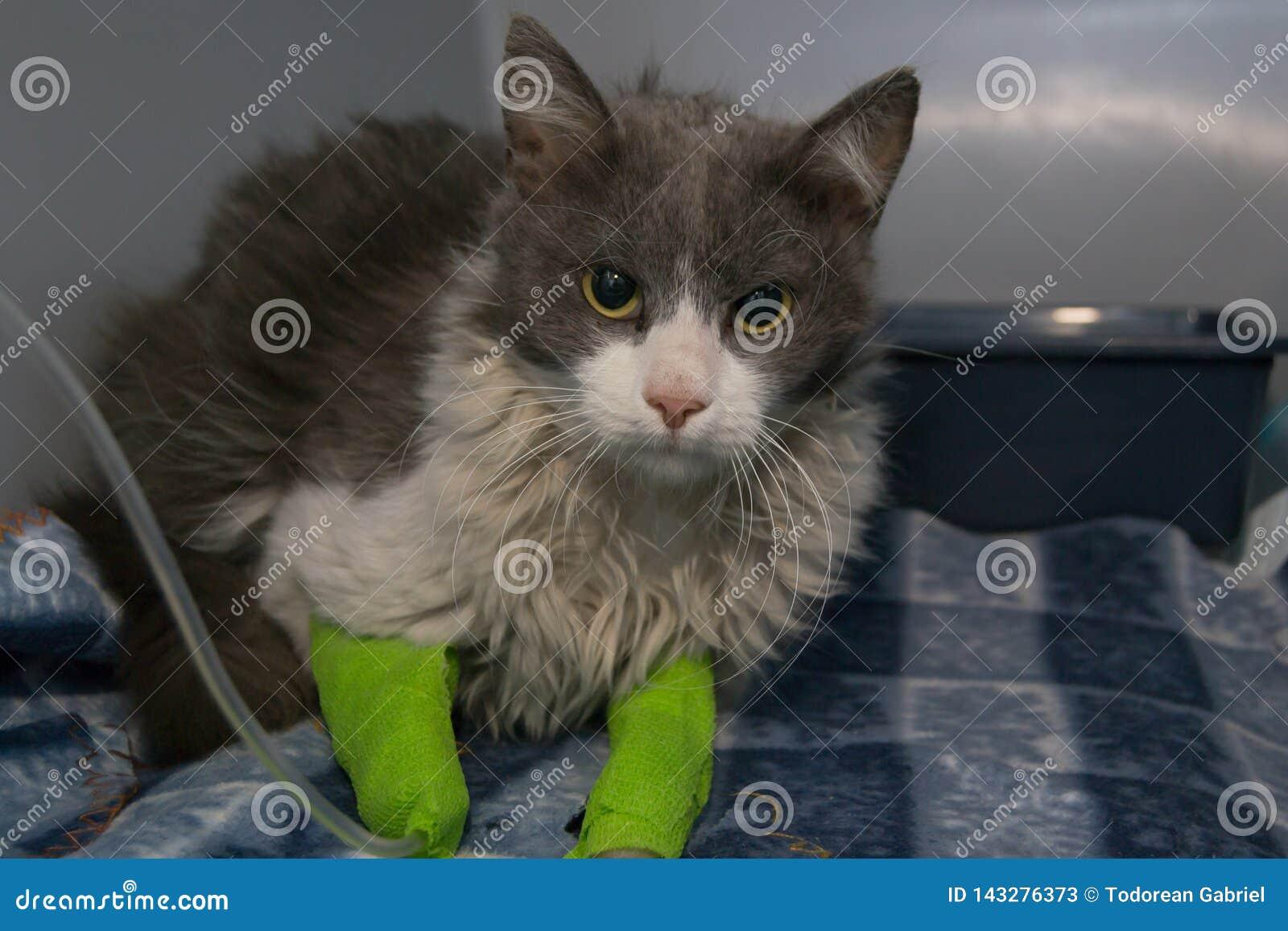 Кот отравил с родентицидами получает внутривенную обработку