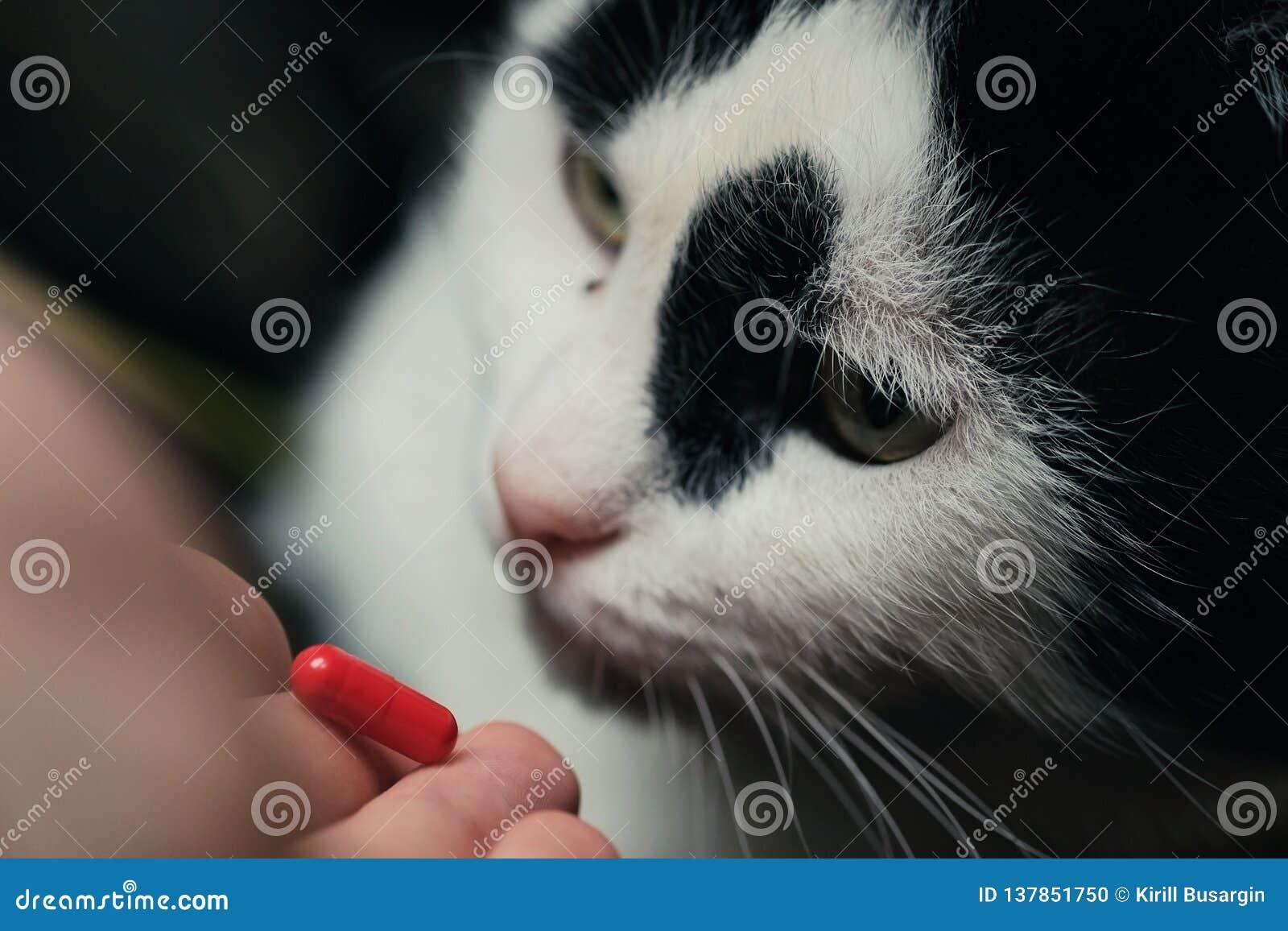 Кот получает дозу медицины от ветеринара Обрабатывают рыжеволосый милый умный кот с таблетками после