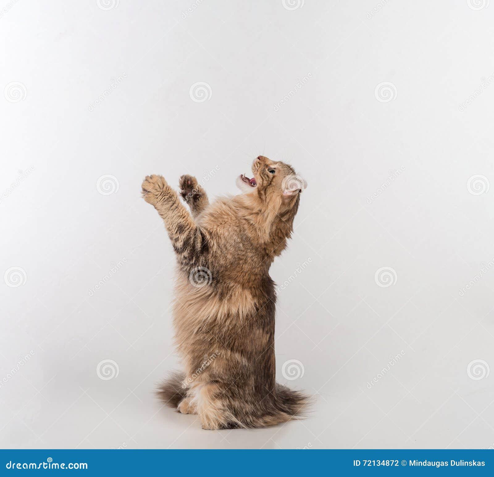 Кот скручиваемости темных волос американский стоя на 2 ногах на белой таблице Белая предпосылка красивейший смотреть outdoors вве