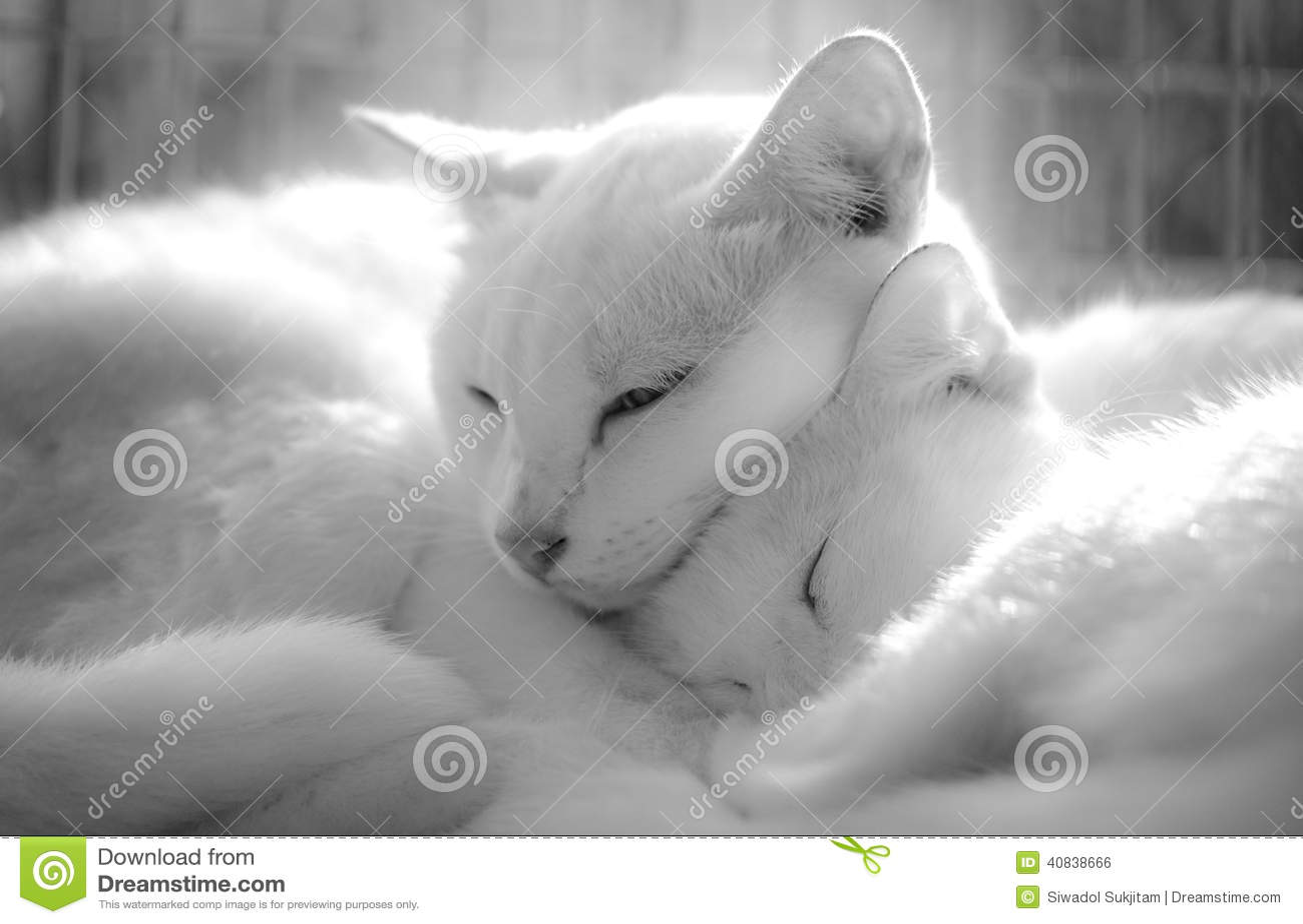 кот тайский