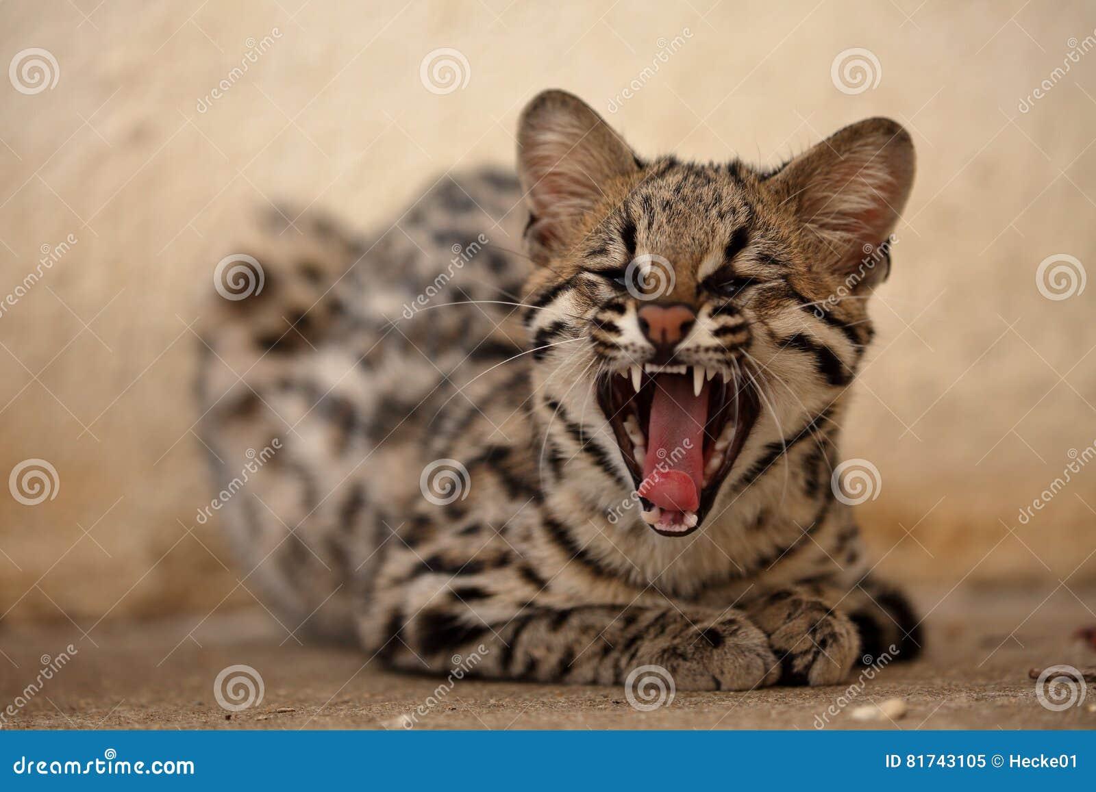 Кот брази