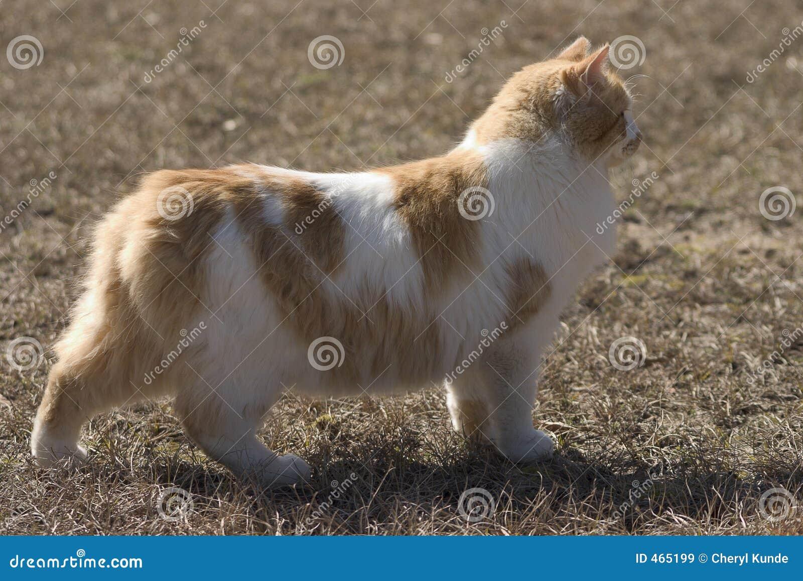 кот breed manx