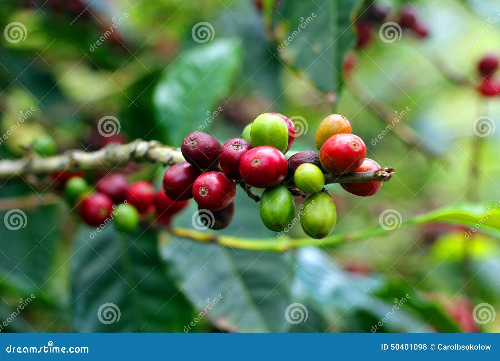 Кофейные зерна, Boquete, Chiriqui, Панама