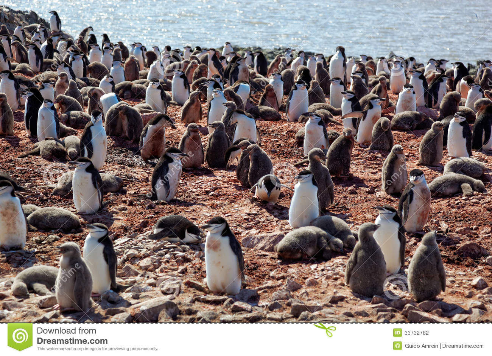 Колония размножения пингвина Chinstrip, Антарктика