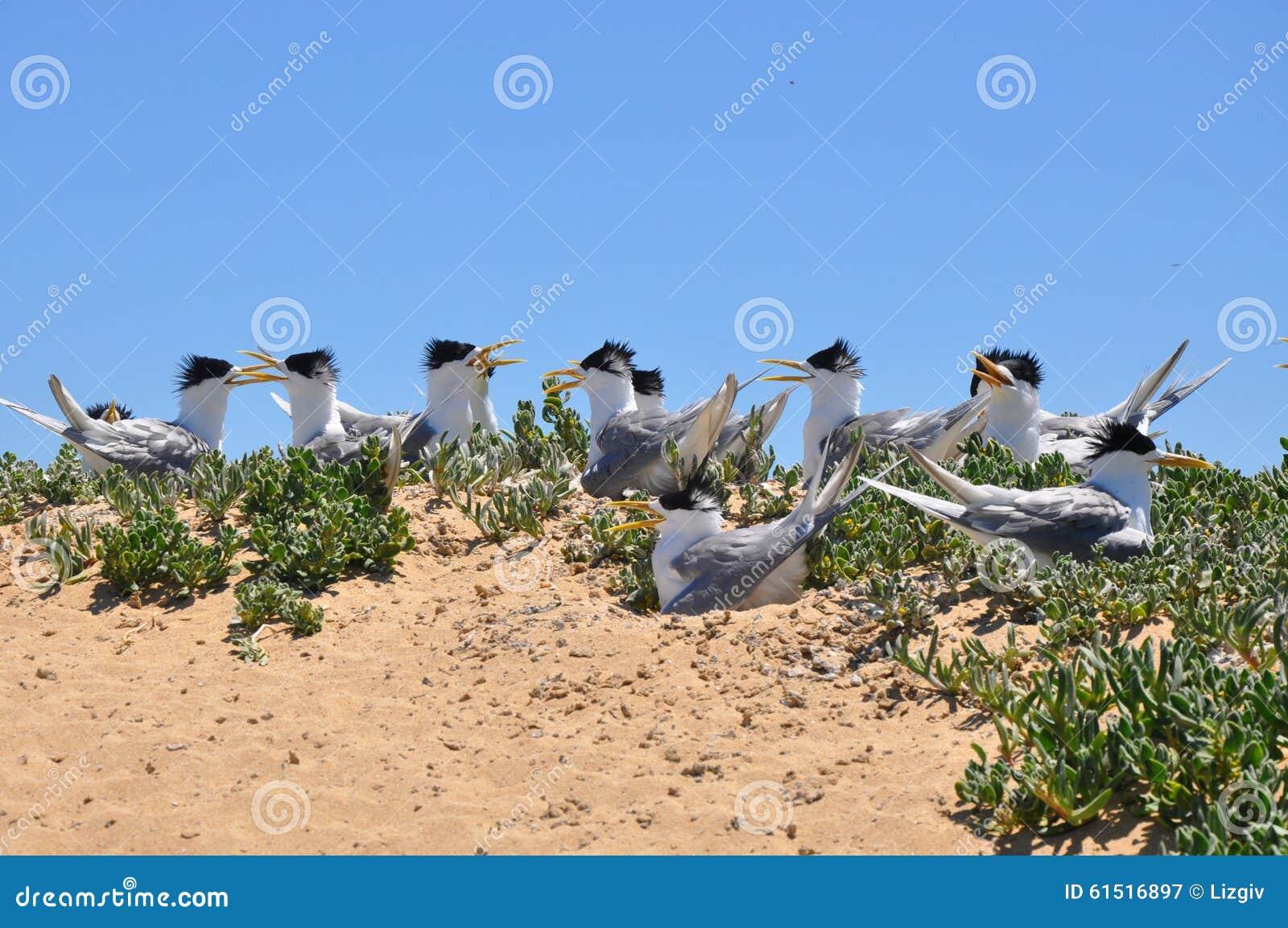 Колония Crested троек на острове пингвина