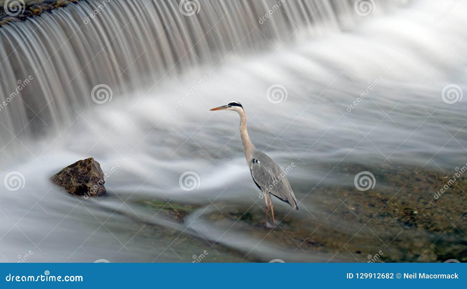 Кран ждет рыбу для того чтобы уловить в реке в Японии