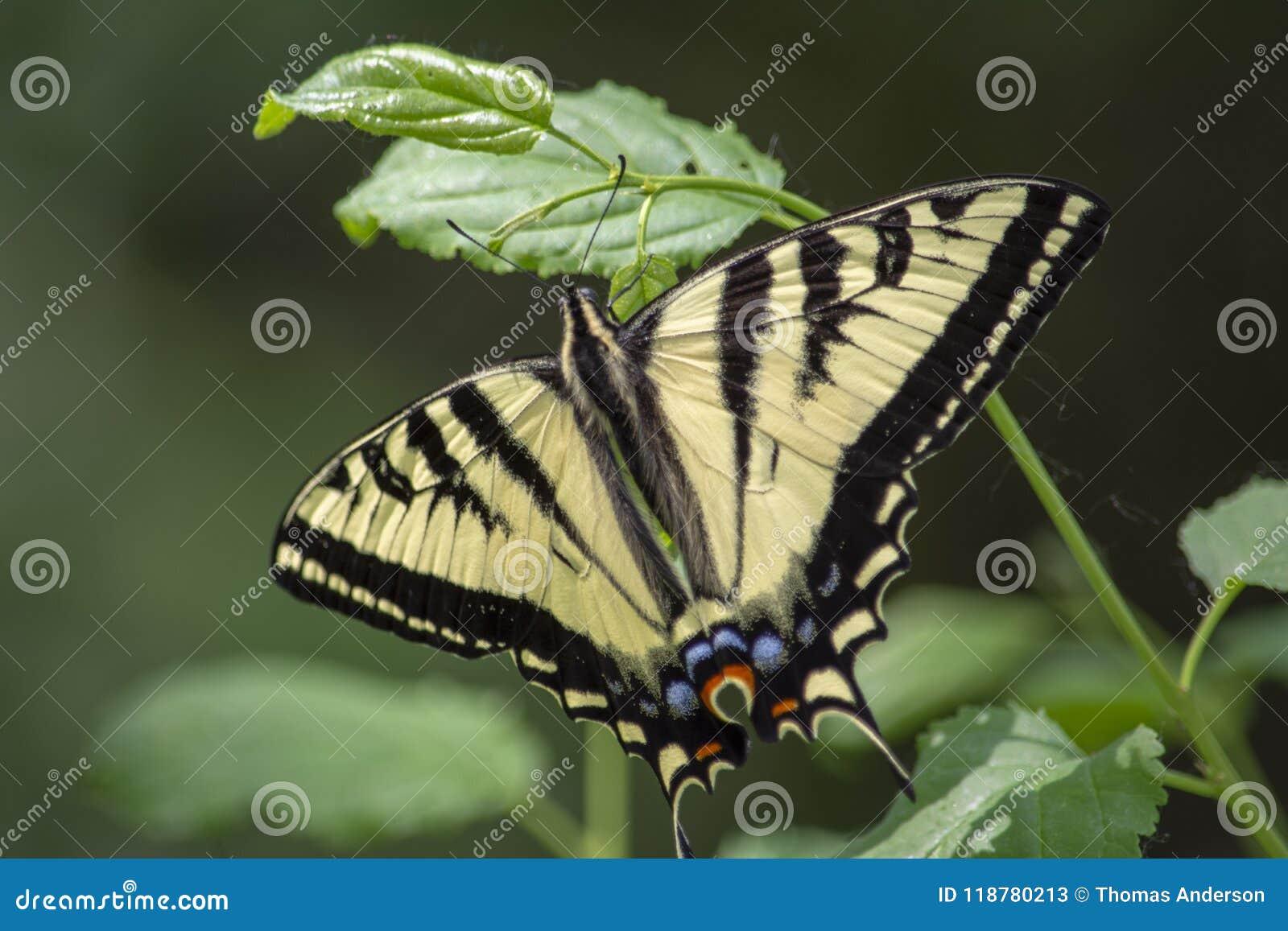 Красивая бабочка Swallowtail тигра