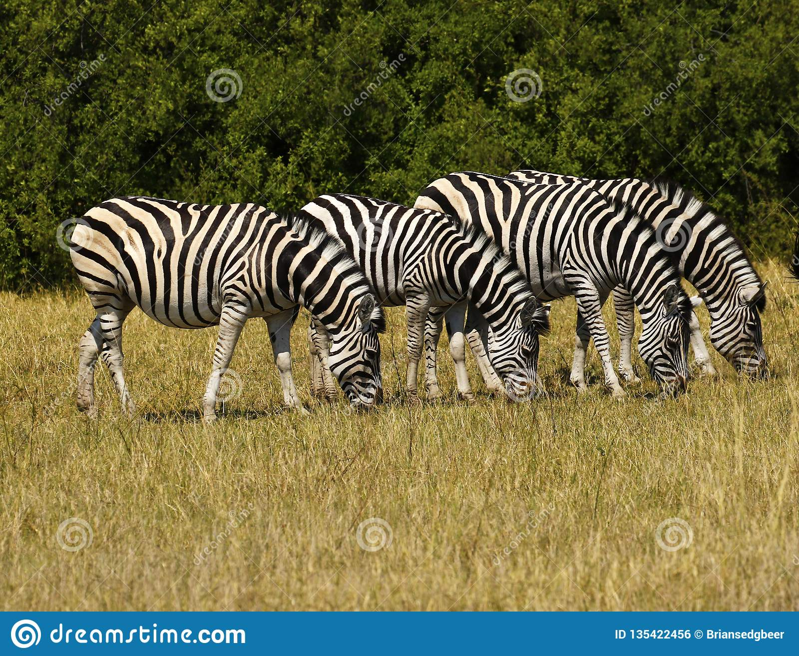 Красивая зебра Waterbucks и Burchell на африканских равнинах
