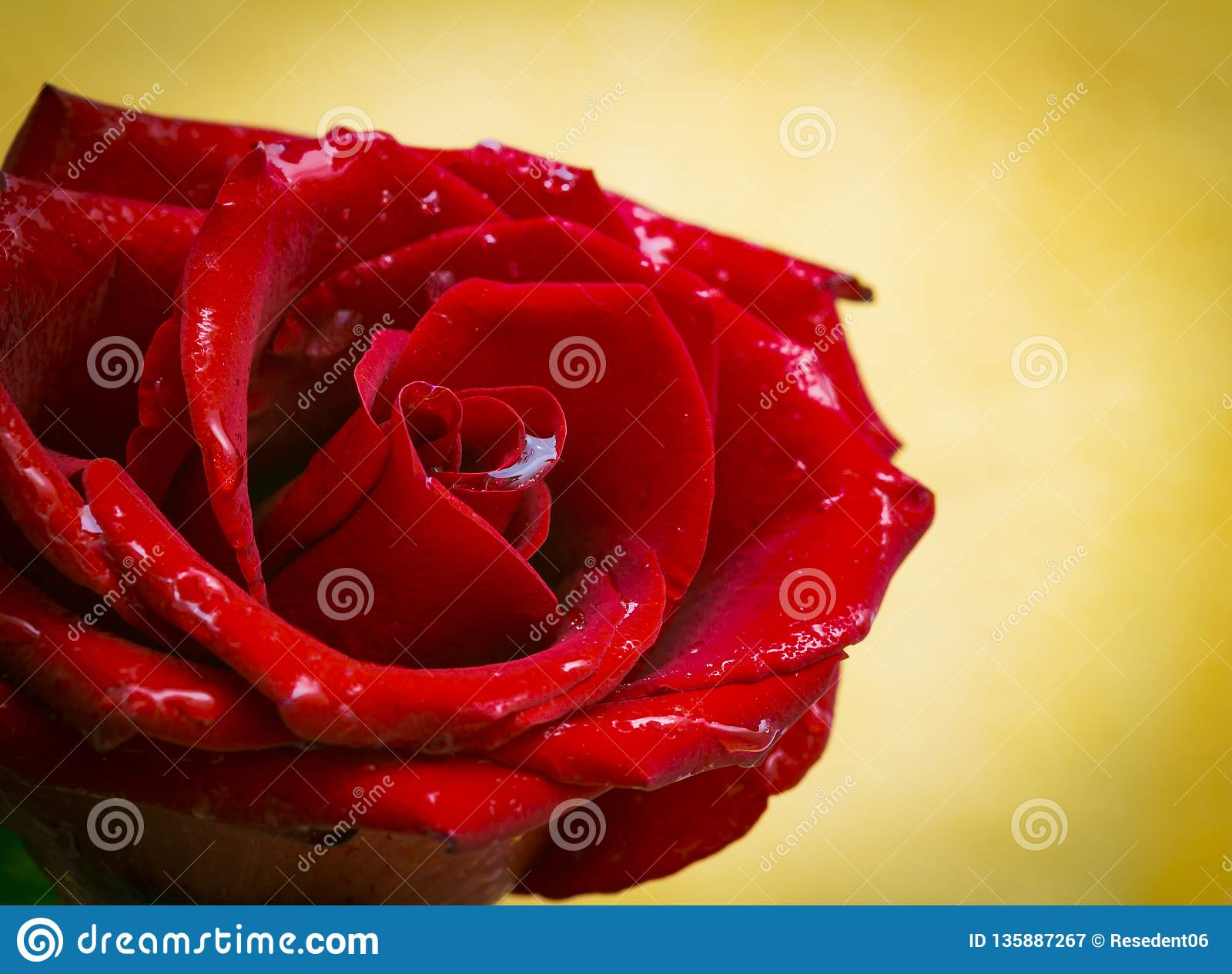 красивая красная роза в пузырях