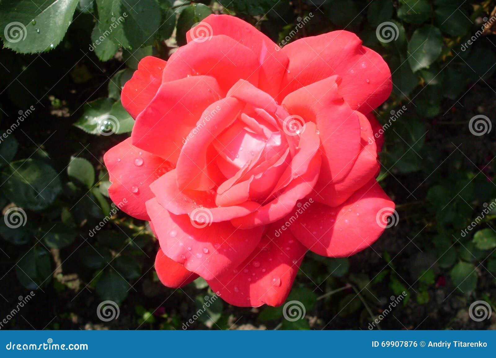 красивая красная роза в росе