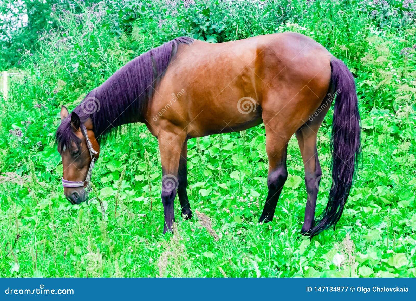 Красивая лошадь каштана с чернотой и пурпурной гривой пасет на зеленом выгоне