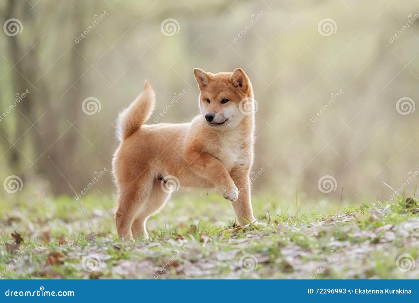 Download Красивая молодая красная собака щенка Shiba Inu Стоковое Изображение - изображение насчитывающей глаза, doggy: 72296993