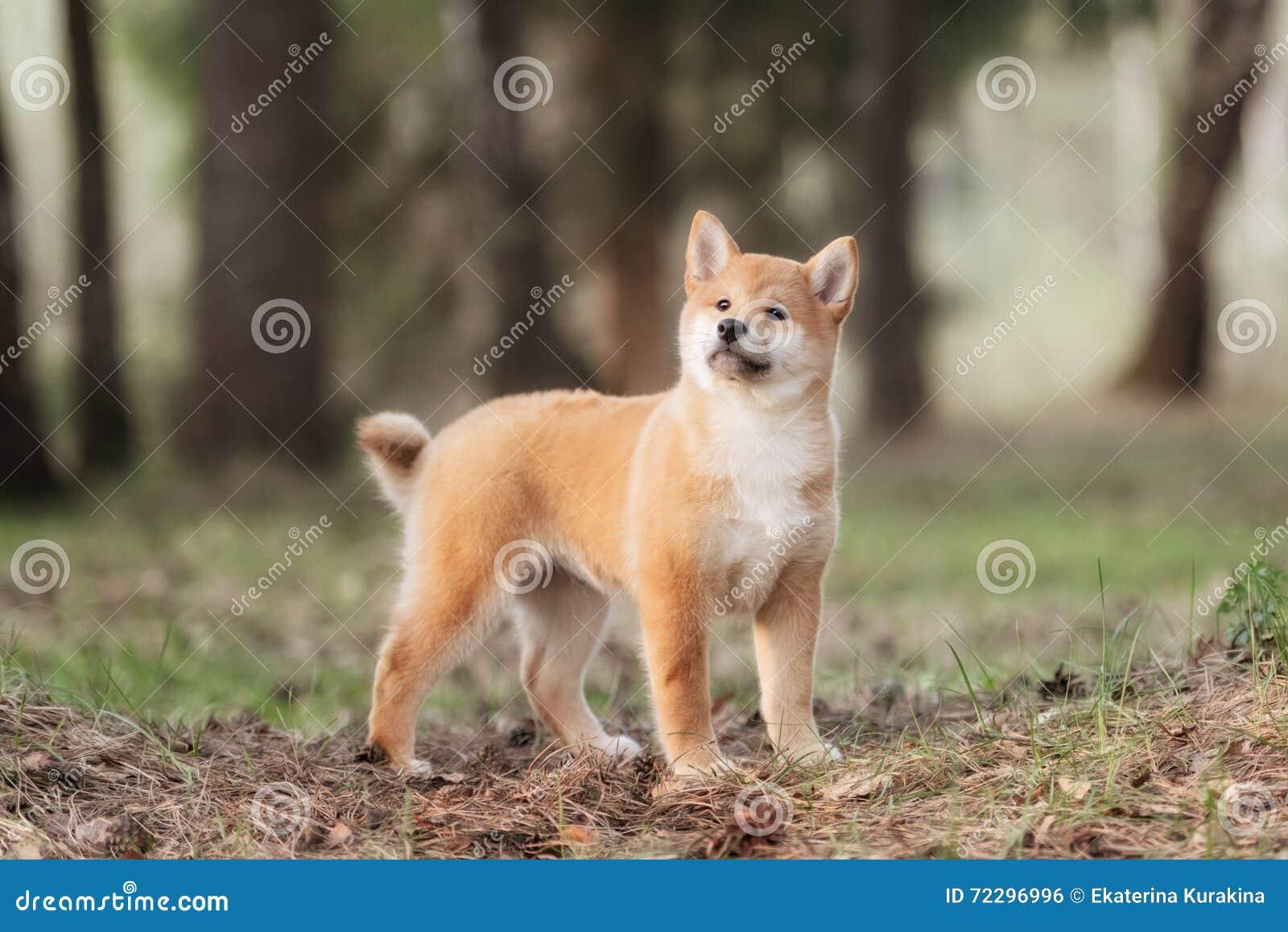 Download Красивая молодая красная собака щенка Shiba Inu Стоковое Фото - изображение насчитывающей природа, собака: 72296996
