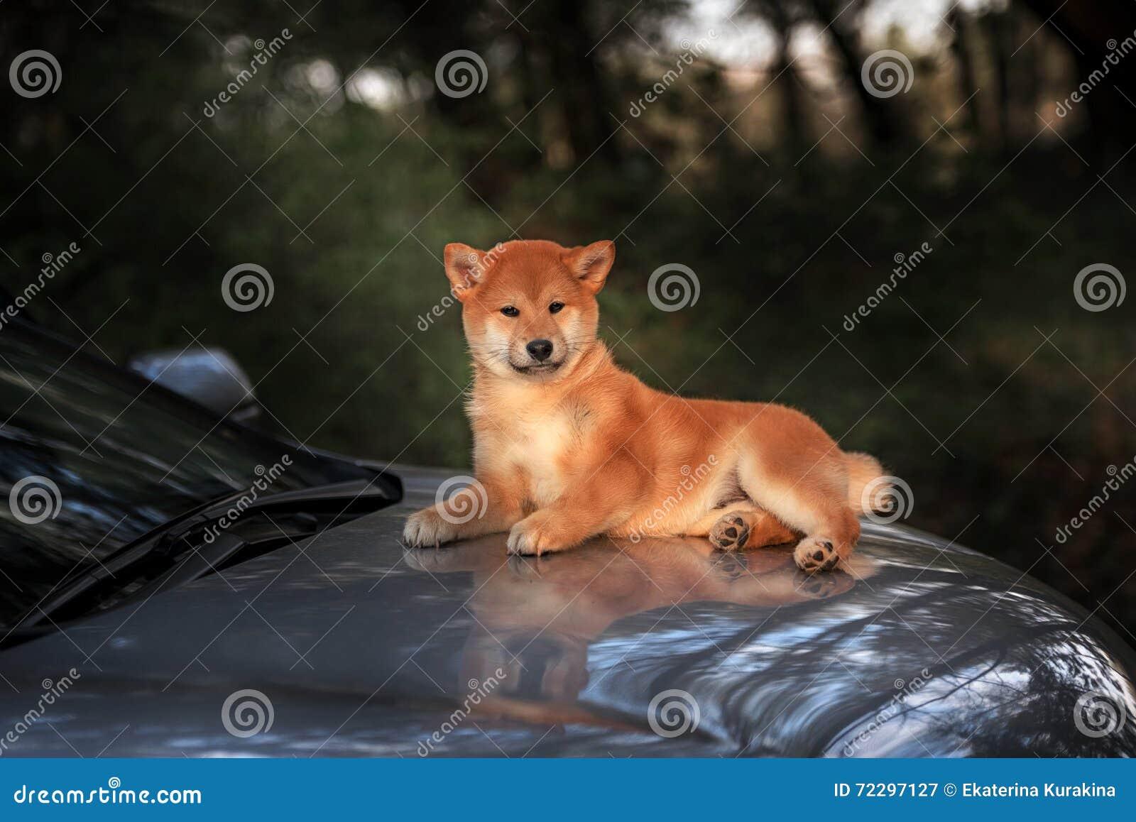 Download Красивая молодая красная собака щенка Shiba Inu Стоковое Изображение - изображение насчитывающей brougham, япония: 72297127