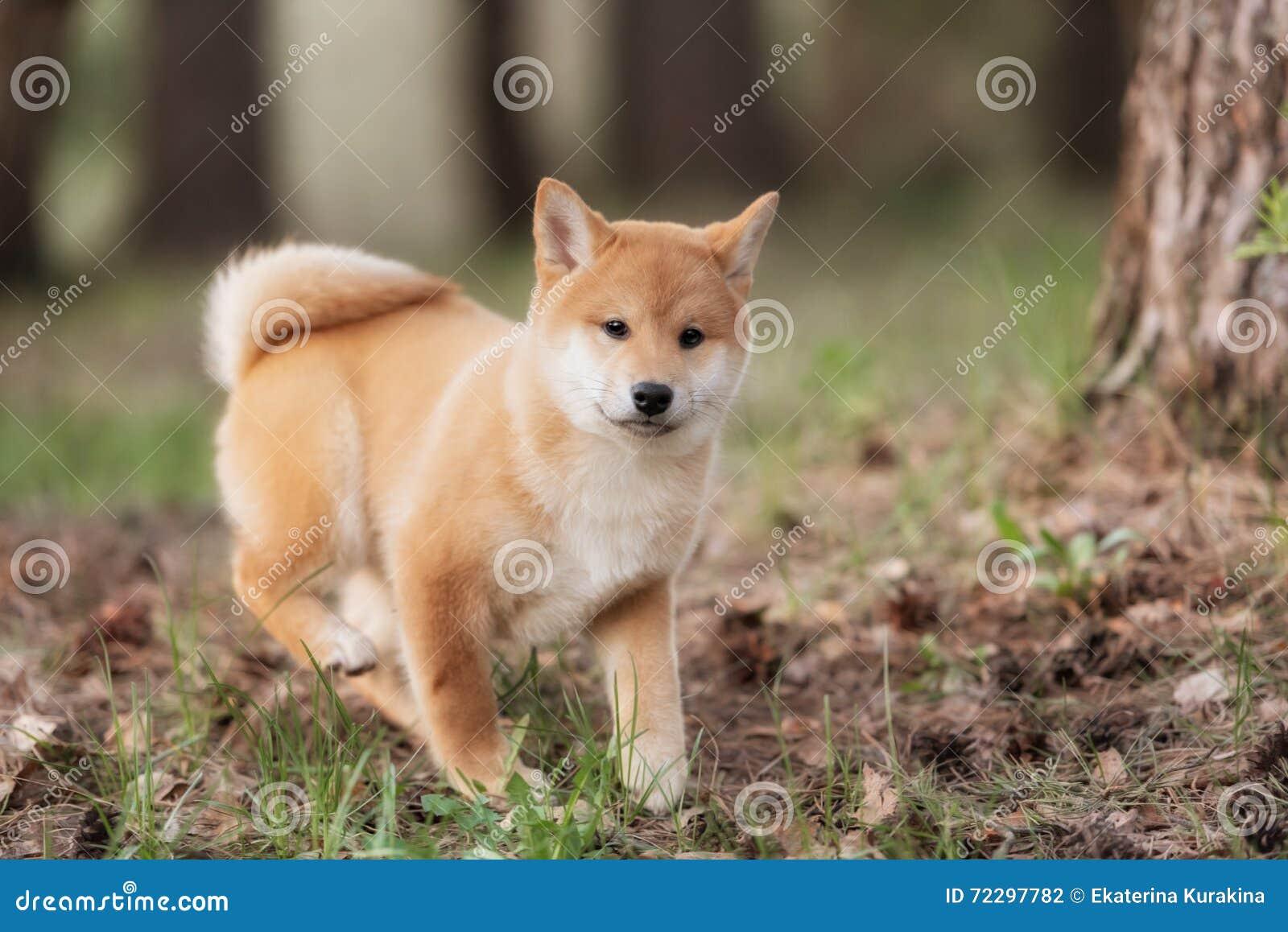 Download Красивая молодая красная собака щенка Shiba Inu Стоковое Фото - изображение насчитывающей япония, doggy: 72297782