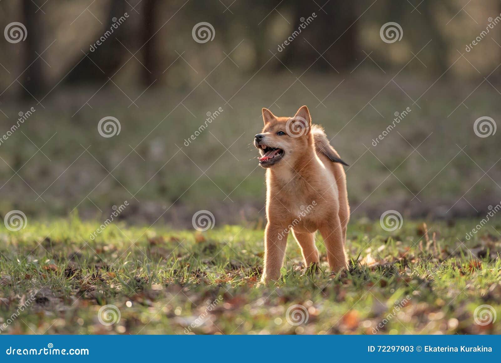 Download Красивая молодая красная собака щенка Shiba Inu Стоковое Изображение - изображение насчитывающей green, напольно: 72297903