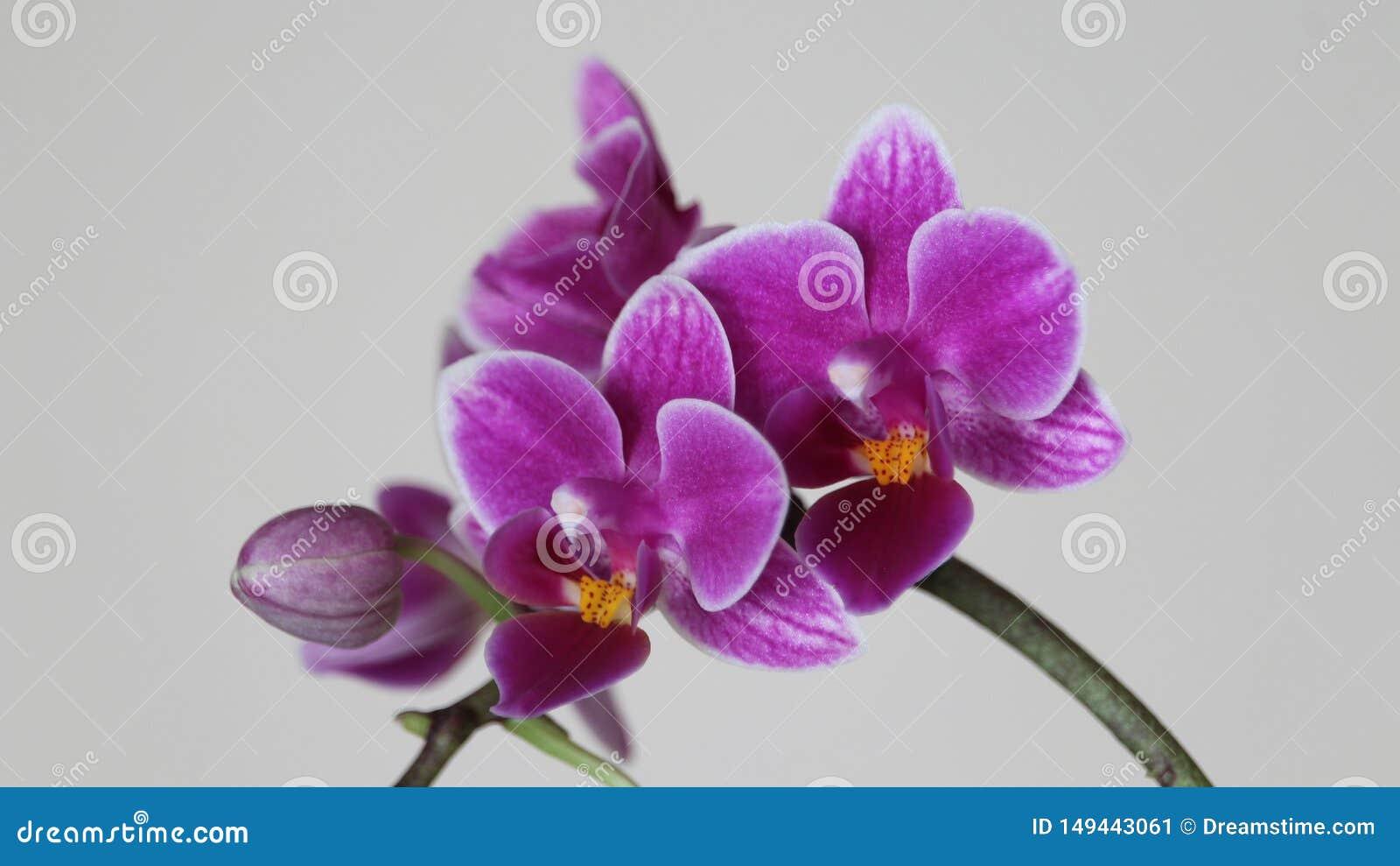 Красивая обитель орхидеи интенсивного цвета и много красоты