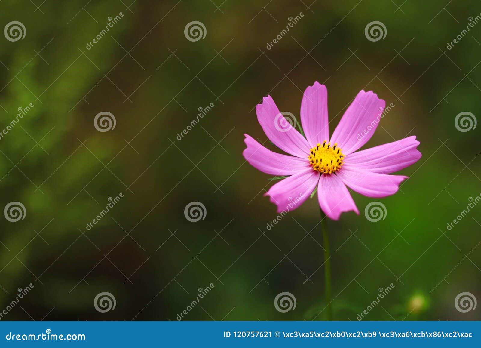 Красивая персидская хризантема