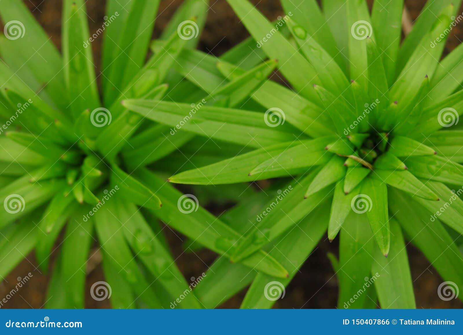 Красивая предпосылка листьев зеленого цвета лилии Цветки longiflorum лилии в саде текстура листьев