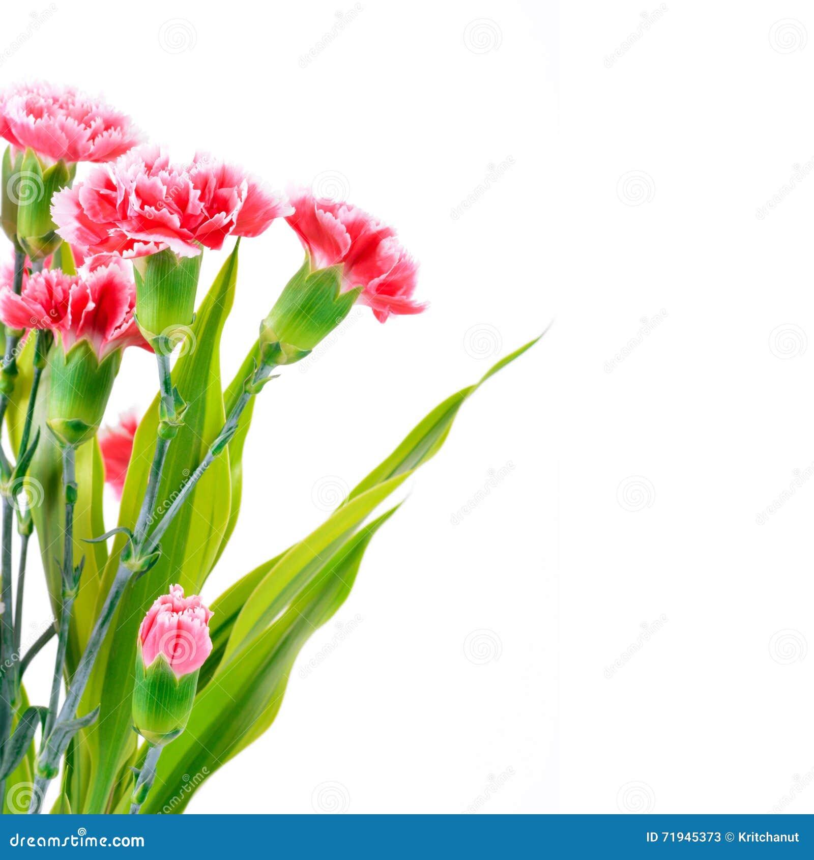 Красивая розовая гвоздика цветет, дизайн границы с космосом экземпляра