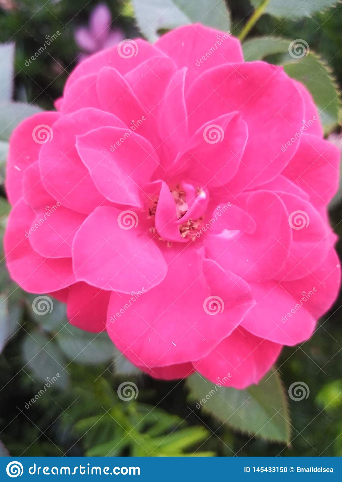 Красивая розовая роза в изгороди
