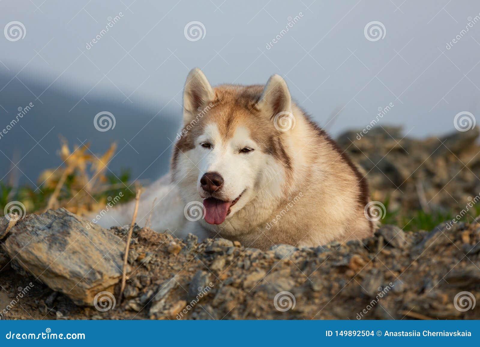 Красивая сибирская сиплая собака лежа на холме на заднем плане гор и лесов