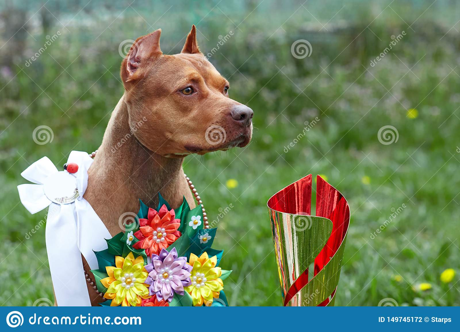Красивая собака красного имбиря породы терьера PitBull американца, красная женщина с лентами шоу и гирлянда цветков, ухо старой ш