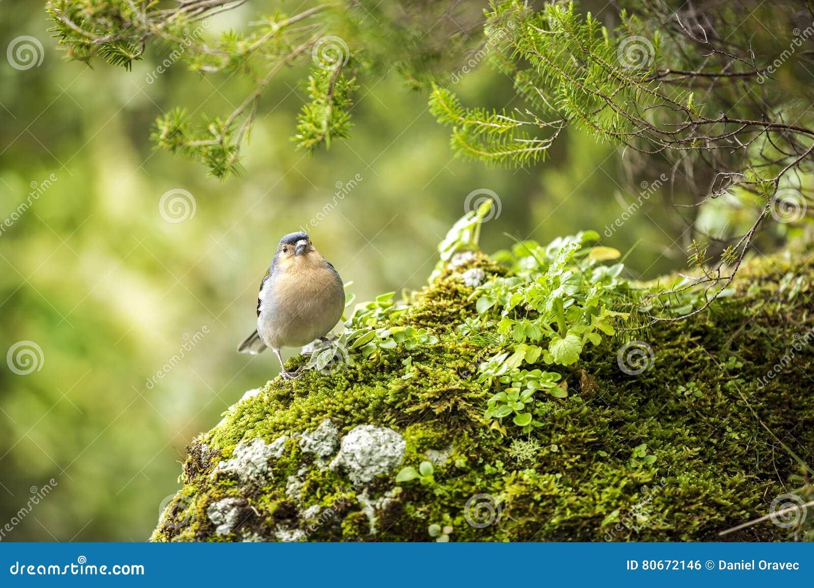 Красивая сцена природы с птицей зяблика