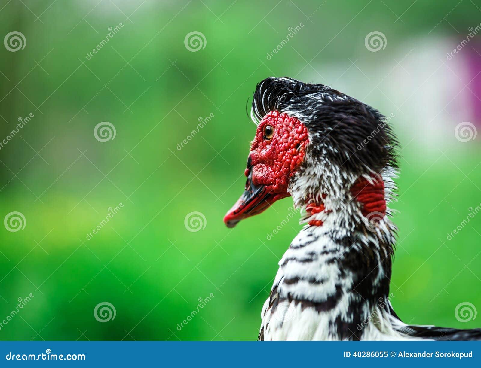 Красивая утка muscovy