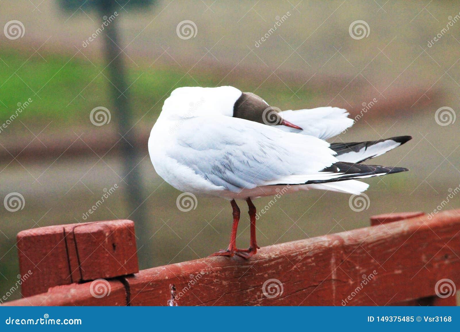 Красивая чайка спит и свои пер пошатывают в ветре