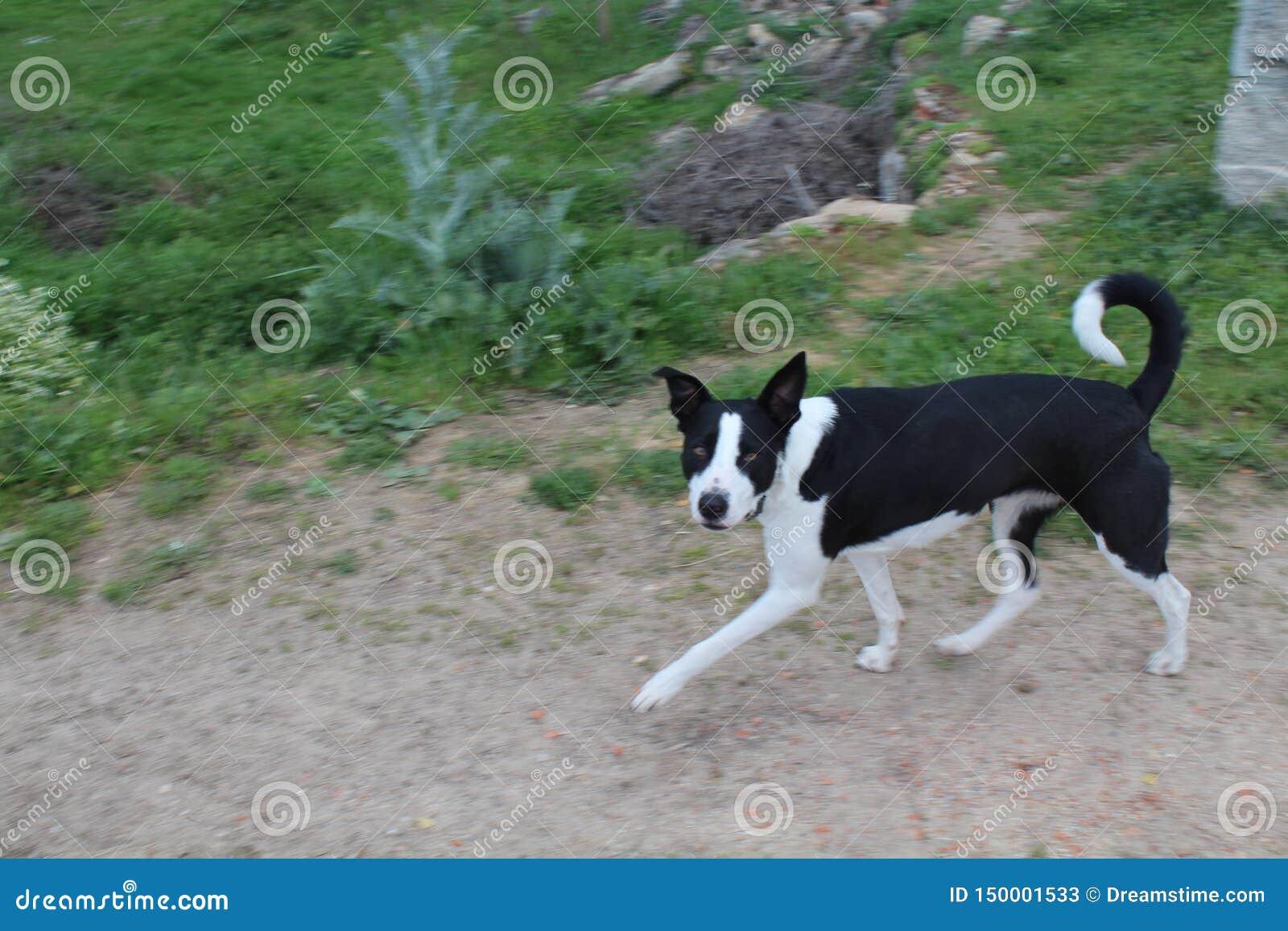 Красивая черно-белая собака которая очень ласкова с людьми