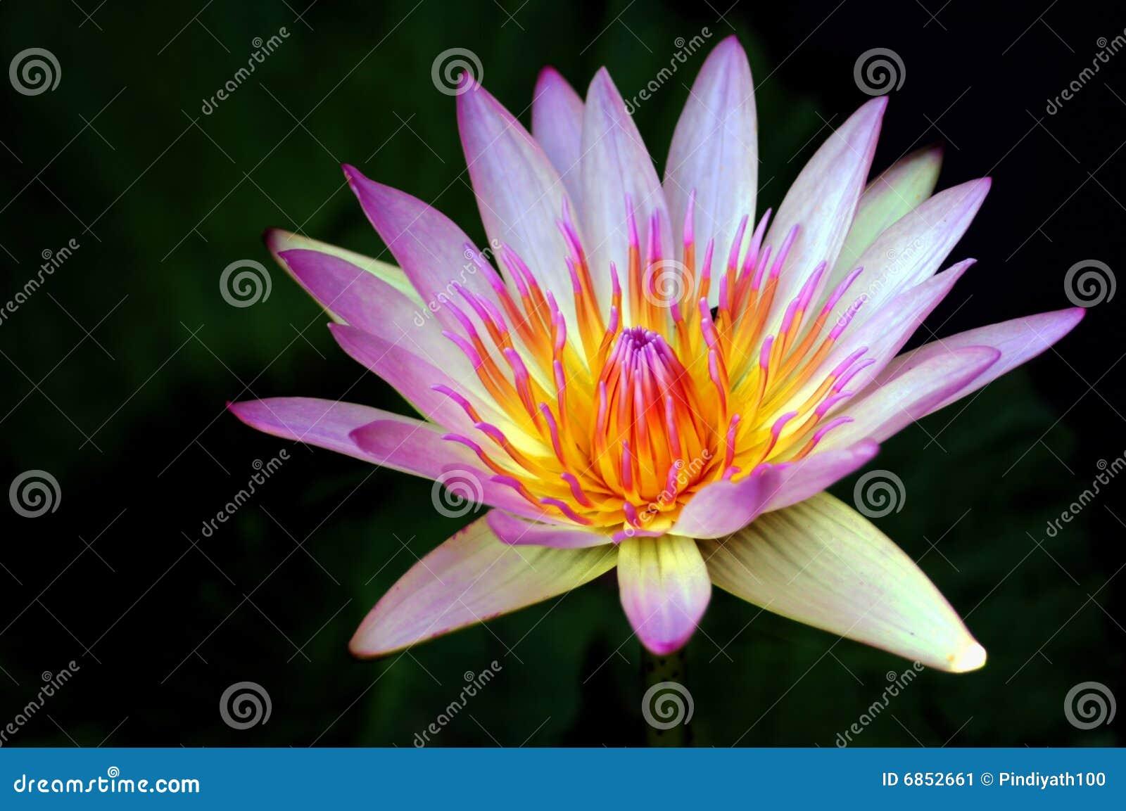 красивейшая вода лилии