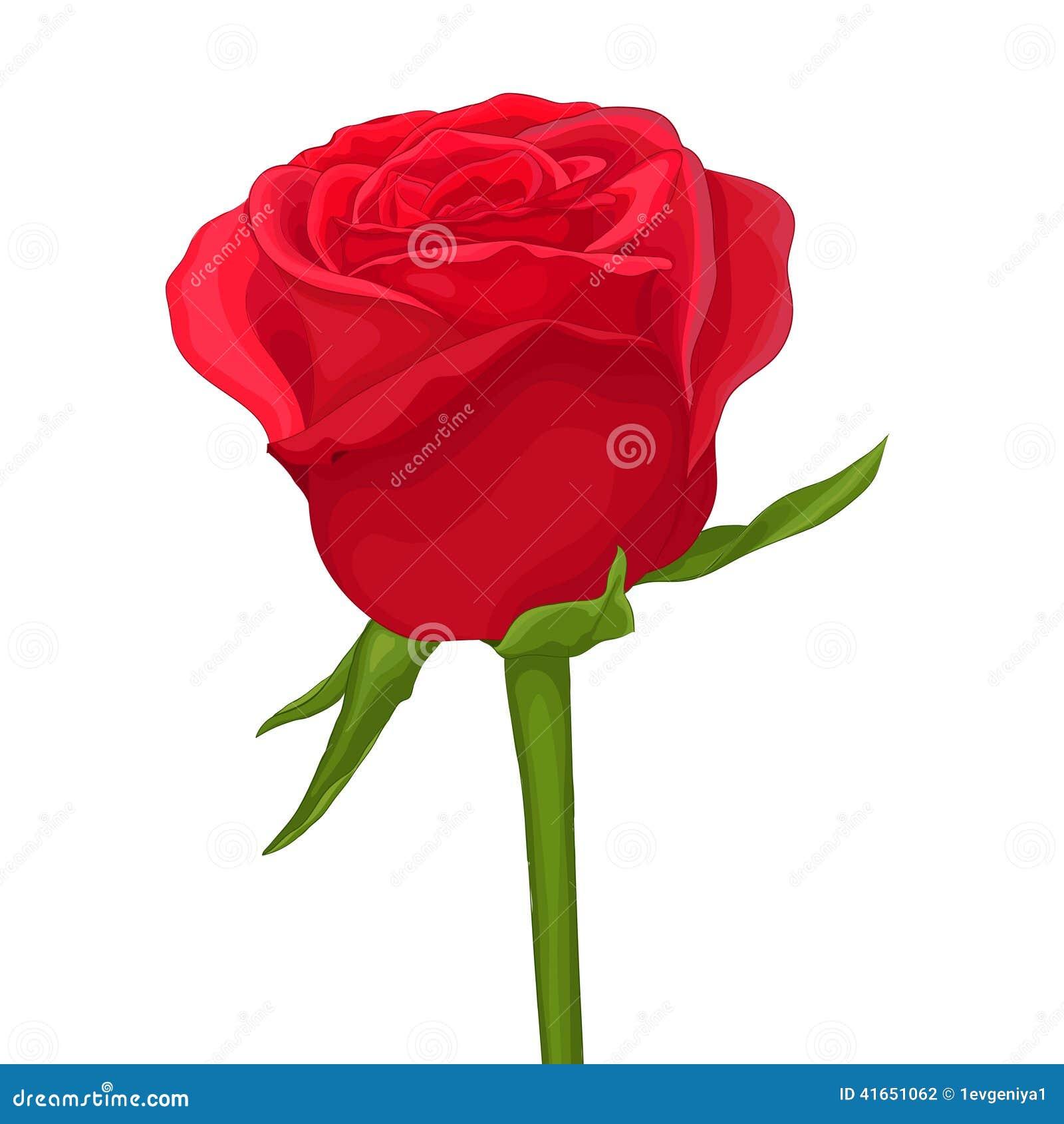 красивейшая изолированная белизна розы красного цвета с влиянием акварели