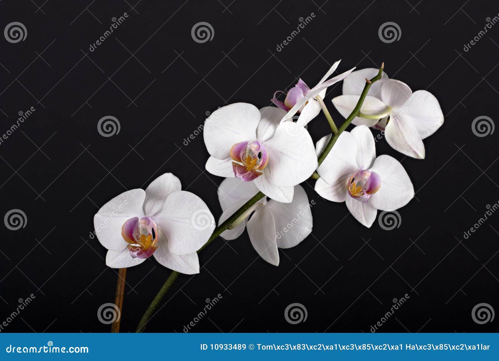красивейшая орхидея цветка