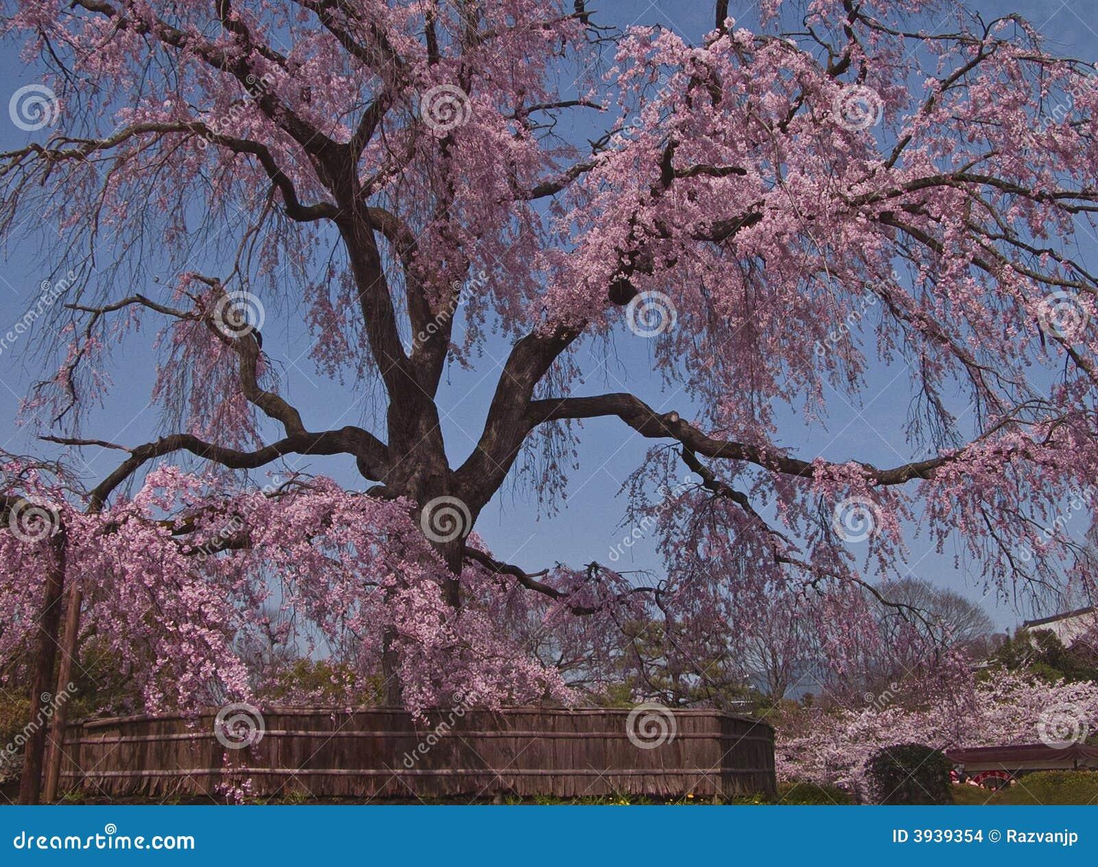 красивейшая японская весна