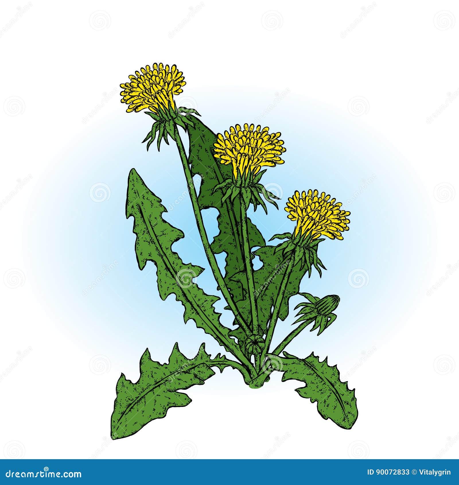 красивейшие одуванчики также вектор иллюстрации притяжки corel Заводы и цветки