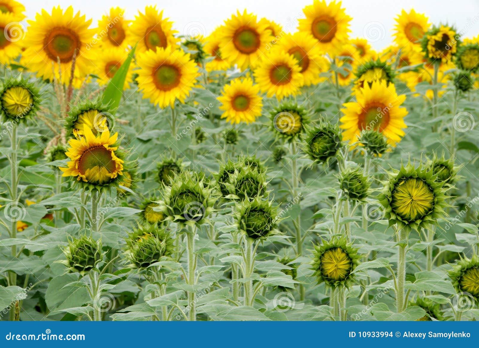 красивейшие солнцецветы поля сельскохозяйствення угодье