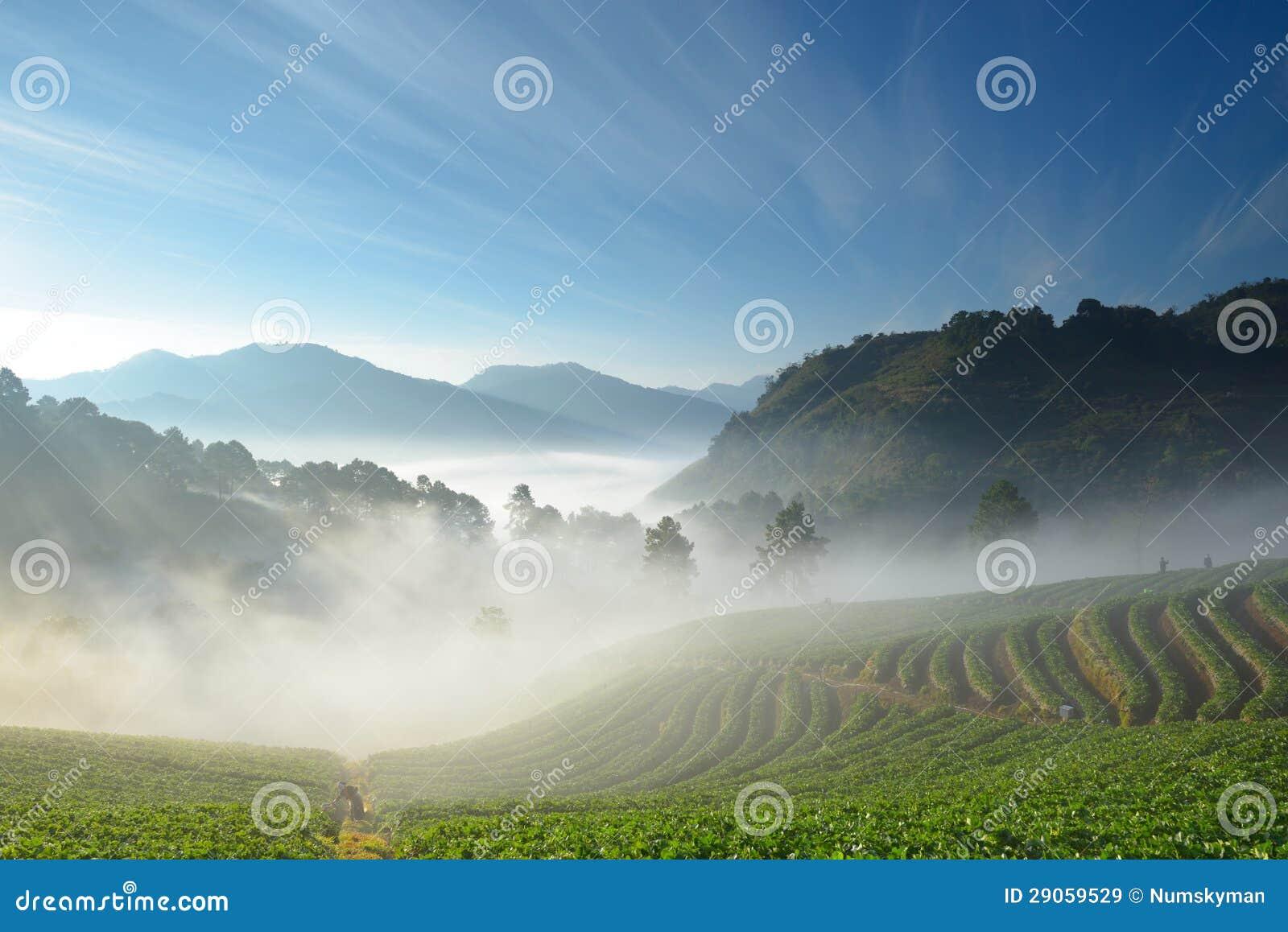 Красивейшие ферма и альпинист клубники среди горы и тумана