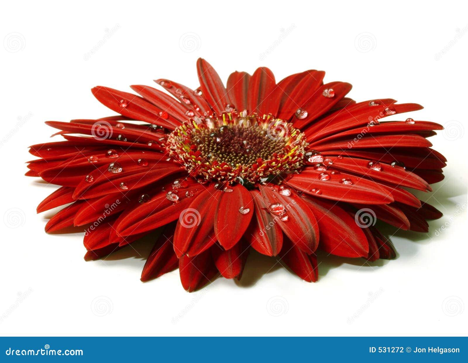 красивейшие raindrops gerbera красные