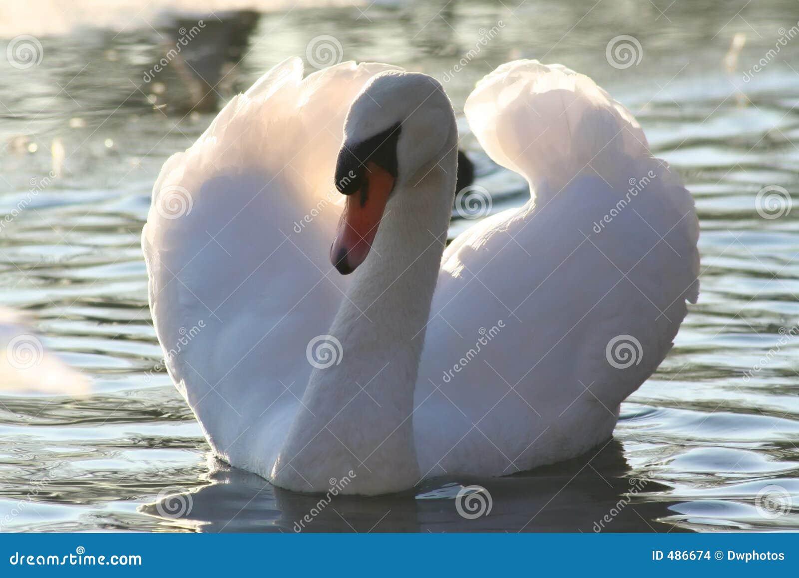 красивейший безгласный лебедь