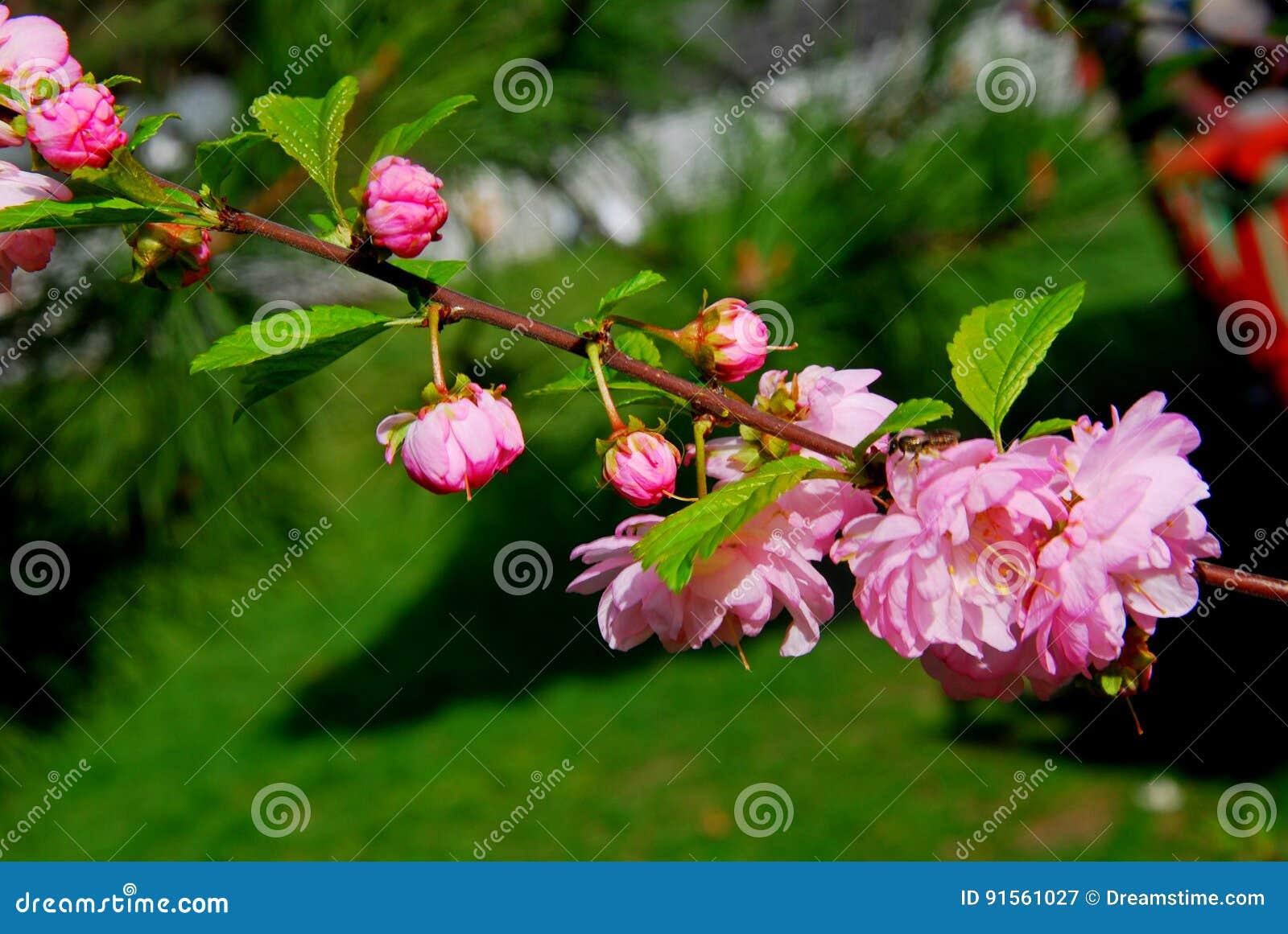 красивейший вектор sakura иллюстрации ветви