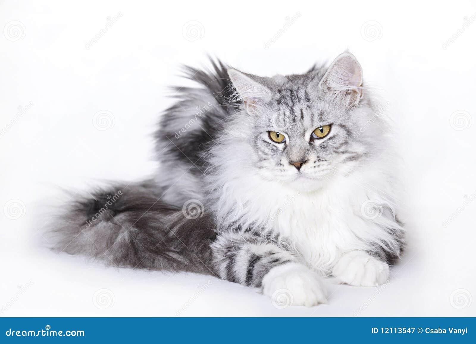 красивейший енот Мейн кота