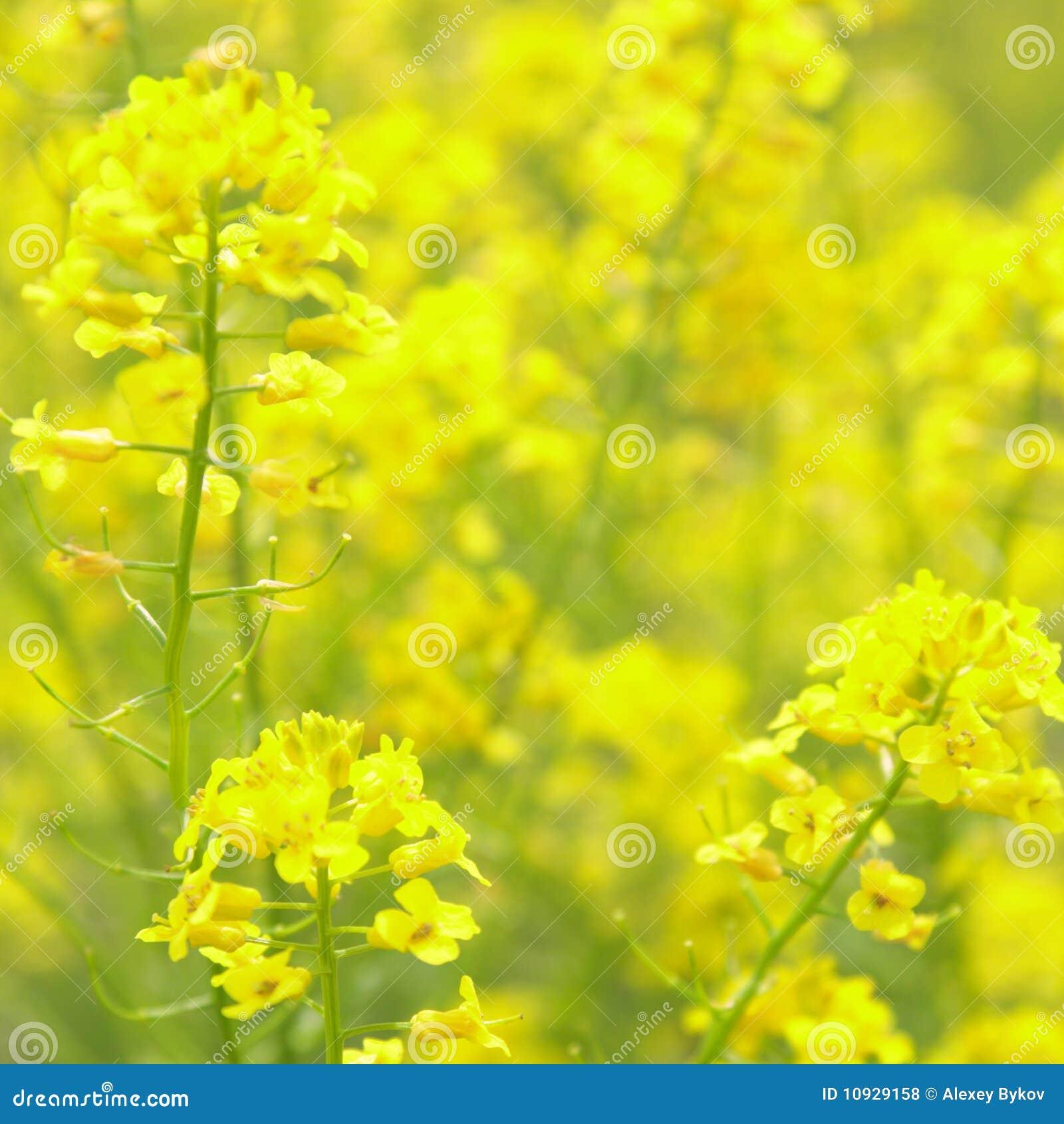 красивейший рапс цветков дня